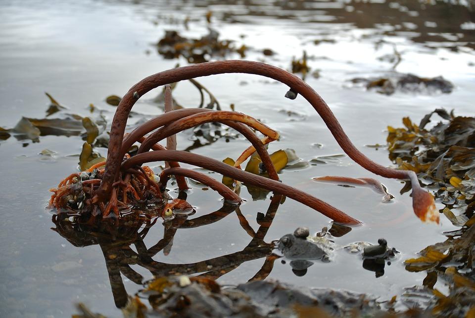 mořské řasy kel
